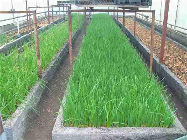 Выращивание зелени в теплице, как бизнес