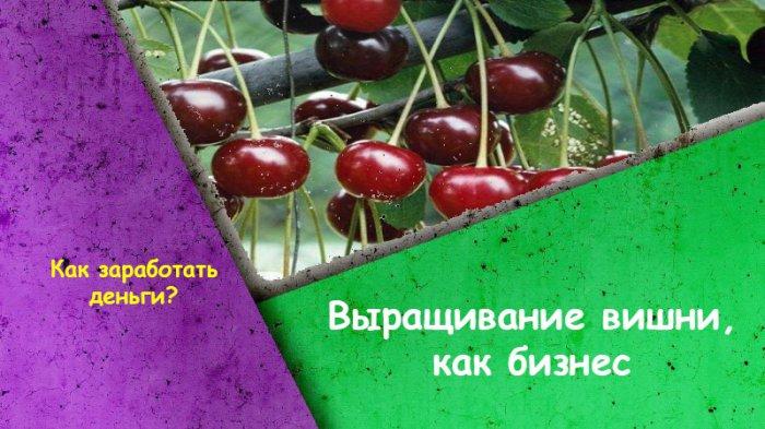 Выращивание вишни, как бизнес