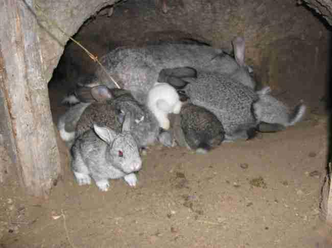 Разведение кроликов, как бизнес