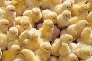 Приобретение цыплят
