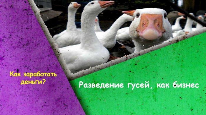 Разведение гусей, как бизнес